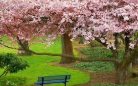Cherry Tree Evergreen Park...
