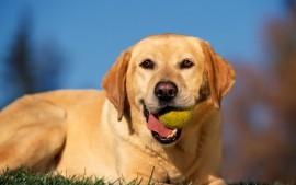 Break Time, Yellow Labrador