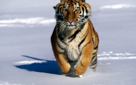 Charge!, Siberian Tiger