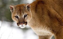 Cougar in Winter, Montana