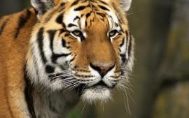 Curious Cat, Siberian Tiger